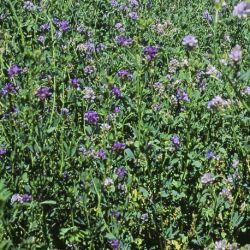 Luzerne flamande inoculée