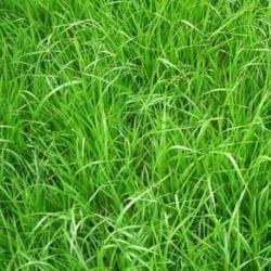 RGH Ray Grass Hybride