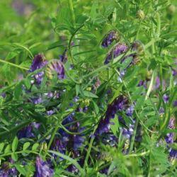Vesce de printemps Bio