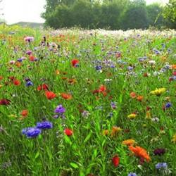 Mélange Prairie fleurie Champetre