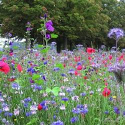 Mélange Prairie fleurie Mellifère. Fleurissement idéal pour les insectes pollinisateurs dans les zones écologique. Vendu en Sac