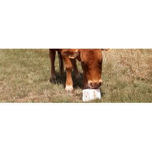 Blocs à lécher bovin