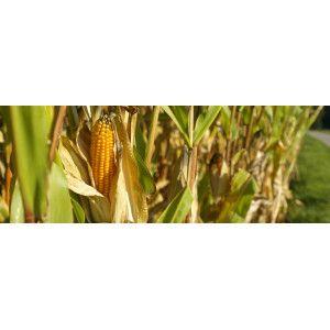 Semences maïs bio