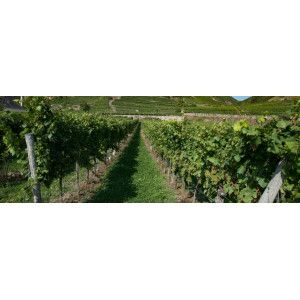 Enherbement vigne